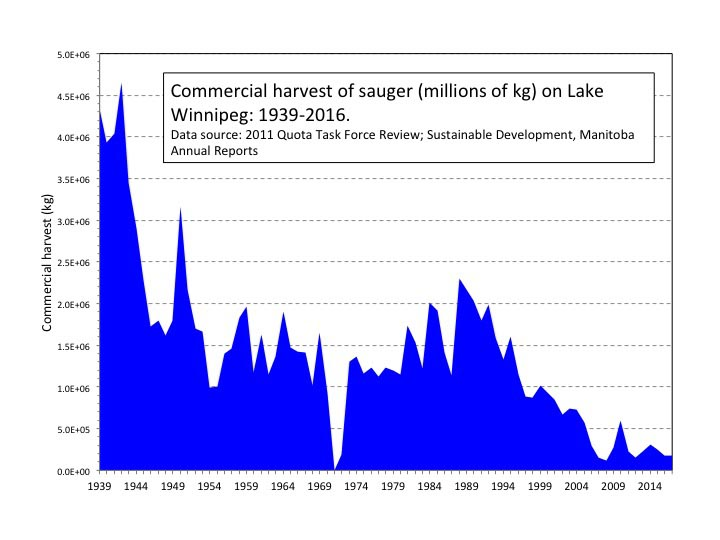 a graph showing the sauger harvest on lake winnipeg since 1939