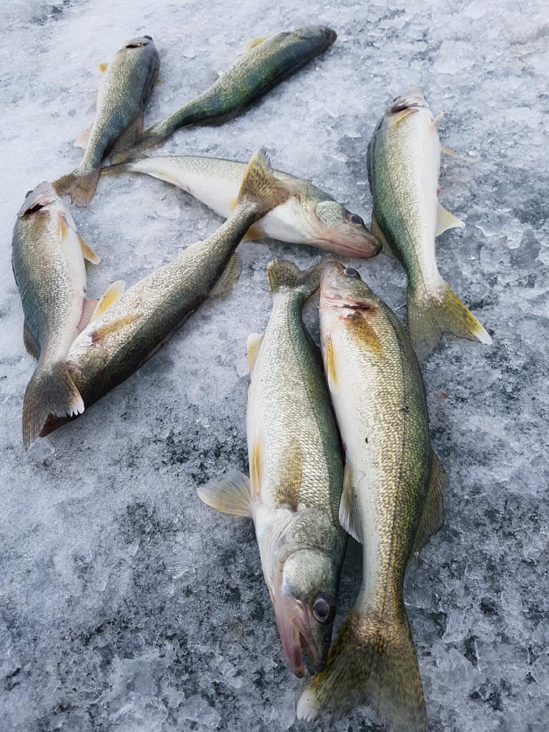 eight dead walleye lying on the ice