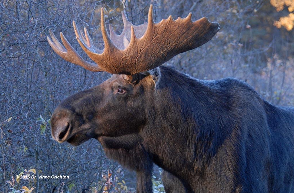 profile shot of a bull moose