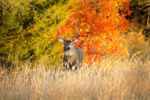 whitetail deer facing the camera with colorful fall foliage in the background