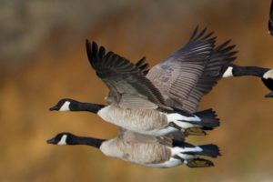 canadian geese on the wing with a blurred background