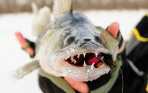 hand holding a walleye with a jig in its mouth facing the camera with a blurred background