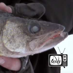 closeup of a walleye head