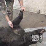 man skinning a black bear