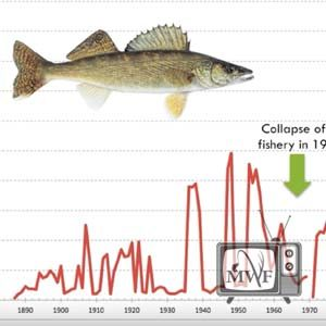 graph showing collapse of the walleye fishery