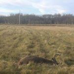 dead whitetail deer lying in farmers field