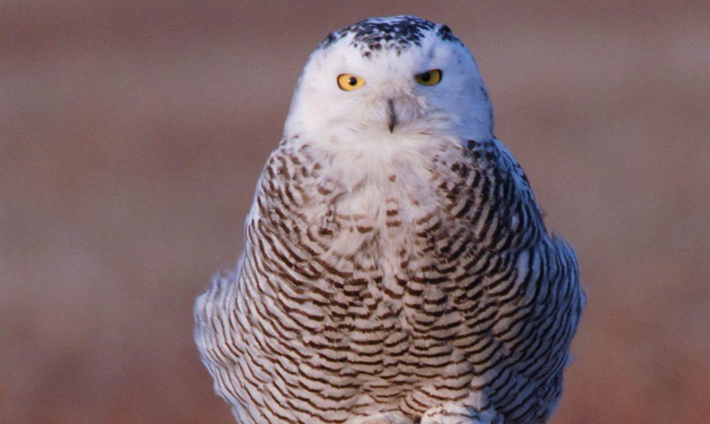 closeup of an owl facing the camera