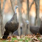 a hen turkey in the foreground with turkey's blurred in back ground
