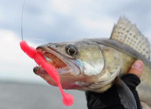 walleye with jig in its mouth